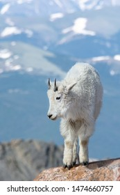 Vertical capture of young Mountain Goat. Some snow on the blue looking mountains in the background. Colorado, USA.