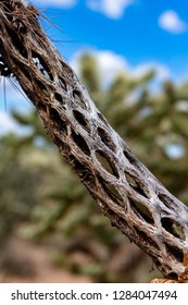 Vertical close up of a beautifully patterned cholla cactus skeleton with a live one in the background. Blue sky, white clouds, green cacti. Sonoran Desert, Pima County, Tucson, Arizona. Winter 2018.