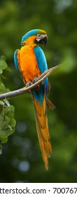 Vertical, close up photo of  Blue-and-yellow macaw, Ara ararauna, big colorful parrot perched on branch against dark green forest, Pantanal, Brasil.