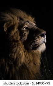 A vertical, close up, colour image of a male lion, Panthera leo, eyes wide while spot lit from the side in the Greater Kruger Transfrontier Park, South Africa.