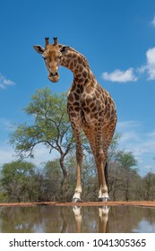 A vertical, close up, full length, low angle, colour photo of a giraffe, Giraffa camelopardalis, at a waterhole, staring down at the camera in Karongwe Conservancy, South Africa.