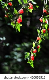 Vertical close up of vibrant green branches with wild red berries on contrasting dark background
