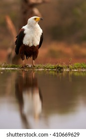 Vertical, close-up of an African fish eagle, Haliaeetus vocifer sitting on the shore of small lake against reddish blurred savanna in background. Ground level photo with raptors reflection in water.
