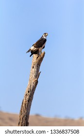 Vertical close-up of augur buzzard perched high on broken tree stump. Profile with head slightly turned towards camera. Big deep blue sky background.