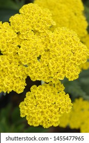 Vertical closeup of the bright yellow flowers of 'Moonshine' yarrow (Achillea 'Moonshine')