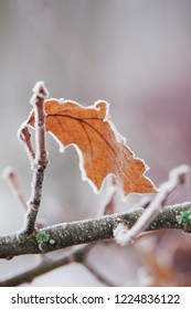 Vertical close-up image with shallow depth of field of a frozen Quercus rubra (Quercus borealis, northern red oak or champion oak, Roteiche) leaf covered with ice crystals on a tree branch