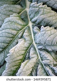 Vertical closeup of a leaf of cardoon (Cynara cardunculus), a garden vegetable, with heavy frost