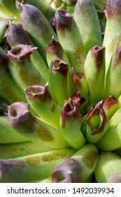 Vertical closeup of 'Oddity' hens and chicks (Sempervivum), showing its unusual rolled foliage