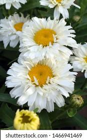 Vertical closeup of the shaggy, white flowers of 'Freak' Shasta daisy (Leucanthemum 'Freak')