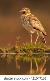 Vertical, close-up view of african wading bird, Water Thick-knee, Burhinus vermiculatus, standing on the rim of small pond and singing. Lit by evening sun,  KwaZulu Natal, South Africa.