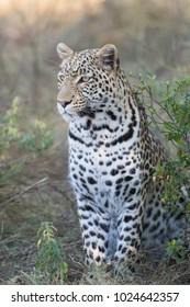 A vertical, colour image of a handsome male leopard, Panthera pardus, sitting beside a bush in the Khwai concession, Okavango Delta, Botswana.