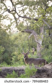 A vertical, colour image of a waterbuck, Kobus ellipsiprymnus, standing in a green and wooded area in the Greater Kruger Transfrontier Park, South Africa.