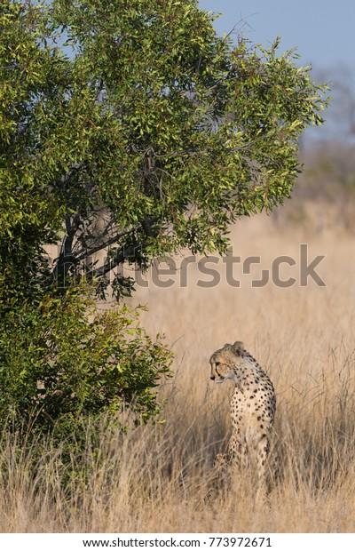 Vertical Colour Photograph Cheetah Acinonyx Jubatus Stock
