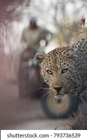 A vertical, colour photograph of an old, scarred and mean-looking male leopard, Panthera pardus, looking at the camera with a safari vehicle out of focus behind in the Sabi Sands, South Africa.