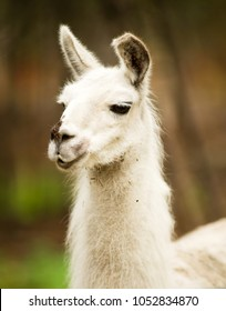 Vertical composition Llama portrait looks off camera for a moment while grazing