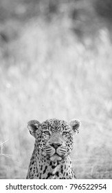 A vertical, creative black and white photograph of the head of a male leopard, Panthera pardus, peeking out at the camera against a blurred grey background at Djuma private game reserve, South Africa.