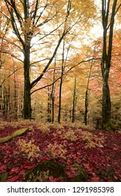 vertical forest scenery, awesome dawn landscape in the beech forest,  multicolor autumn leaves in morning sunlight, scenic nature background landscape, Europe travel image