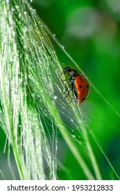 Vertical format with little red dotted lady bug insect is climbing on wet long grass spica sunlit. Glowing and shining water doplets on bright sunlight