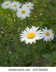 A vertical frame of a wild daisy in the foreground of uncultivated green garden with five more daisies at different distances behind in soft focus