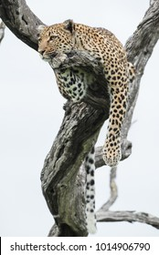 A vertical, full length, colour photo of a leopard, Panthera pardus, resting in a dead tree against a white background in the Greater Kruger Transfrontier Park, South Africa.