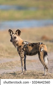 A vertical, full length, colour photo of a skinny African wild dog, Lycaon pictus, standing in side light in the Khwai concession, Okavango Delta, Botswana.