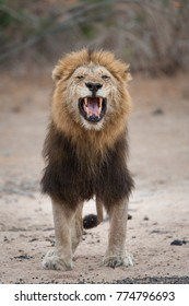 A vertical, full length, colour photograph of a large, black-maned lion, Panthera leo, eyes closed and yellow canine teeth bared, sneeze or roar in the Greater Kruger Transfrontier Park, South Africa.