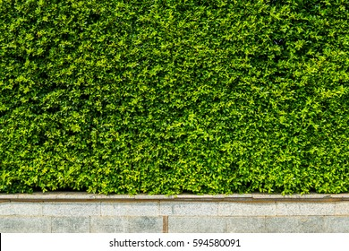 Vertical garden green leaves wall or tree fence for background.