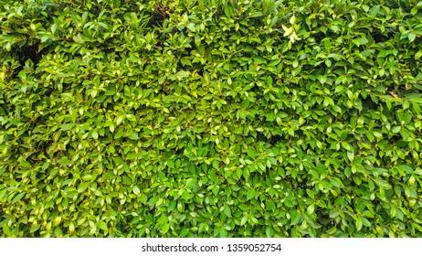 Vertical garden, green wall pattern, background.