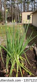 vertical green onions growing seeds organic fresh