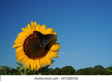 Vertical image of a butterfly on a sunflower