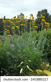 Vertical image of a clump of giant coneflower (Rudbeckia maxima), showing the blue foliage and tall-stemmed yellow flowers
