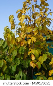 Vertical image of the deciduous tree known as pawpaw (Asiminia triloba) showing the yellow fall color of the foliage (leaves)