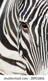 Vertical image of a the face of a Grevy's zebra close up.