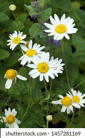 Vertical image of the flowers of the annual weed known as mayweed or stinking chamomile (Anthemis cotula)