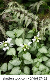 Vertical image of the flowers and foliage of 'White Nancy' spotted deadnettle (Lamium maculatum 'White Nancy'), with a bit of Japanese painted fern (Athyrium niponicum pictum)