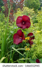 Vertical image of the flowers of 'Heartthrob' hardy hibiscus (Hibiscus 'Heartthrob') in a garden with 'Tanacetum vulgare 'Isla Gold', Rudbeckia fulgida, and Iris x robusta 'Gerald Darby' foliage