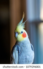 vertical image of isolated pet cockatiel back lit on perch