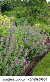 Vertical image of 'Joanna Reed' catmint (Nepeta 'Joanna Reed') in flower in a perennial border