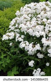 Vertical image of 'Minnie Pearl' phlox (Phlox 'Minnie Pearl') in full flower