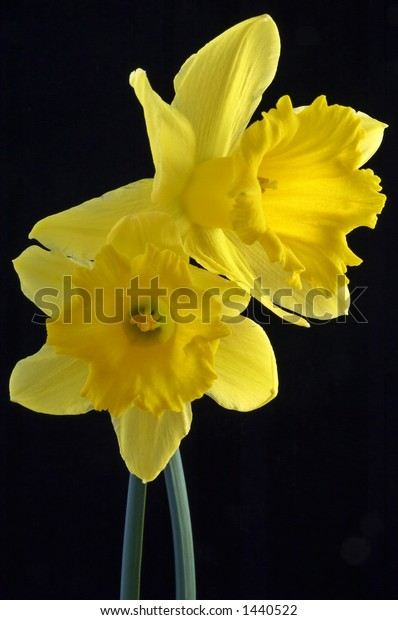 Vertical image of a Narcissus Daffodil in full spring flowering bloom.