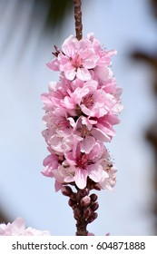 vertical image of pink blooming peach tree branch