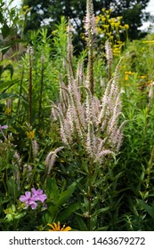 Vertical image of the pink-blushed flower spikes of 'Erica' Culver's root (Veronicastrum virginicum 'Erica')