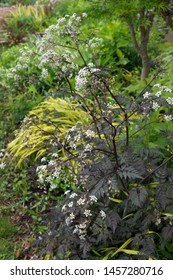 Vertical image of purple-leaved 'Ravenswing' cow parsley (Anthriscus sylvestris 'Ravenswing') in flower in a garden setting