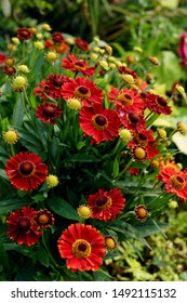 Vertical image of the red flowers of 'Mariachi Salsa' helenium (Helenium 'Mariachi Salsa'), also known as sneezeweed or Helen's flower