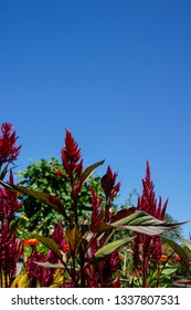 Vertical image of the red flowers of plumed celosia (Celosia 'Pampas Plume') against a cloudless blue sky, with copy space