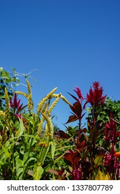 Vertical image of the red and yellow flowers of plumed celosia (Celosia 'Pampas Plume') against a cloudless blue sky, with copy space