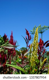 Vertical image of the red and yellow flowers of plumed celosia (Celosia 'Pampas Plume'), and a head of dill (Anethum graveolens), against a cloudless blue sky, with copy space