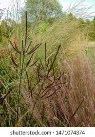 Vertical image of the seedheads of Culver's root (Veronicastrum virginicum) against  'Dewey Blue' bitter panic grass (Panicum amarum) and f'The Blues' little bluestem (Schizachyrium scoparium)