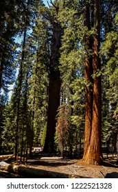 Vertical image of a sequoia tree in Sequoia National Park