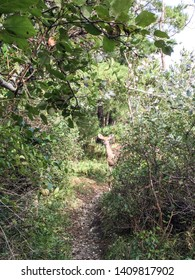 A vertical image of a single deer in the woods in Nantucket, Massachusetts.